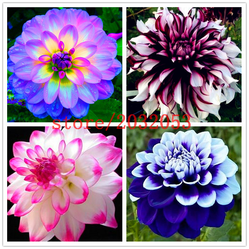 100 pcs bag dahlia flower dahlia seeds bonsai flower seeds Bright blue dahlia flowers Chinese Peony home garden potted plants