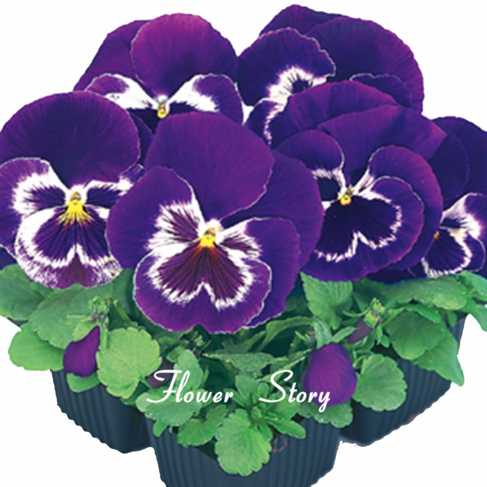 Pansy Zinnia Flower Seeds 9 Original Package Easy To Grow Flower