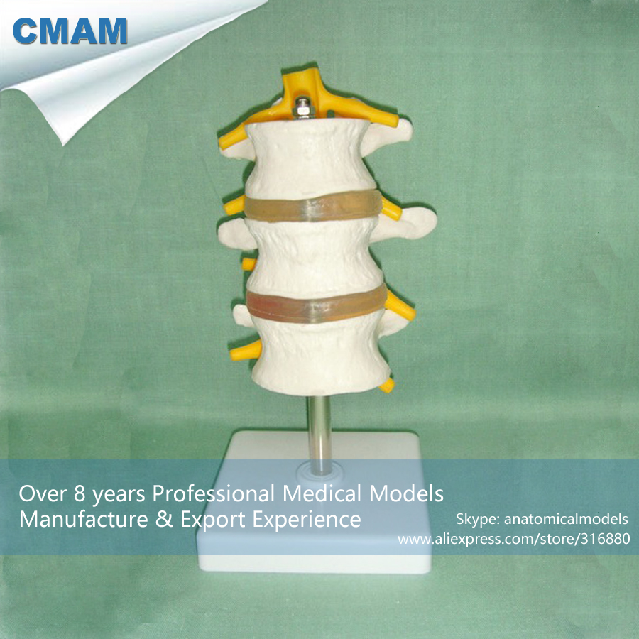 [Pre Order] CMAM-VERTEBRA07-3 Life Size Medical Education Model Lumbar (3pcs) pre service teacher education concerning school curriculum reform