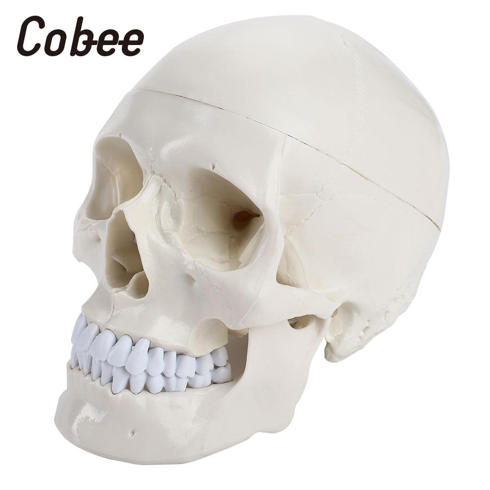 Modèle médical Médical Tête Modèle D'enseignement Crâne Modèle Humains Manuel Visuel Squelette Durable PVC