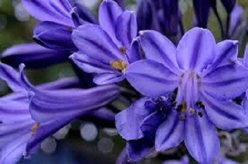 Агапантус фото цветов