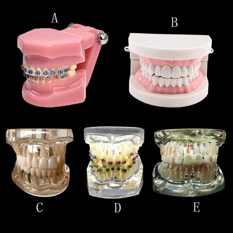 Various Dental Teeth Models Are Used For Teaching And Hospital Dentist Material