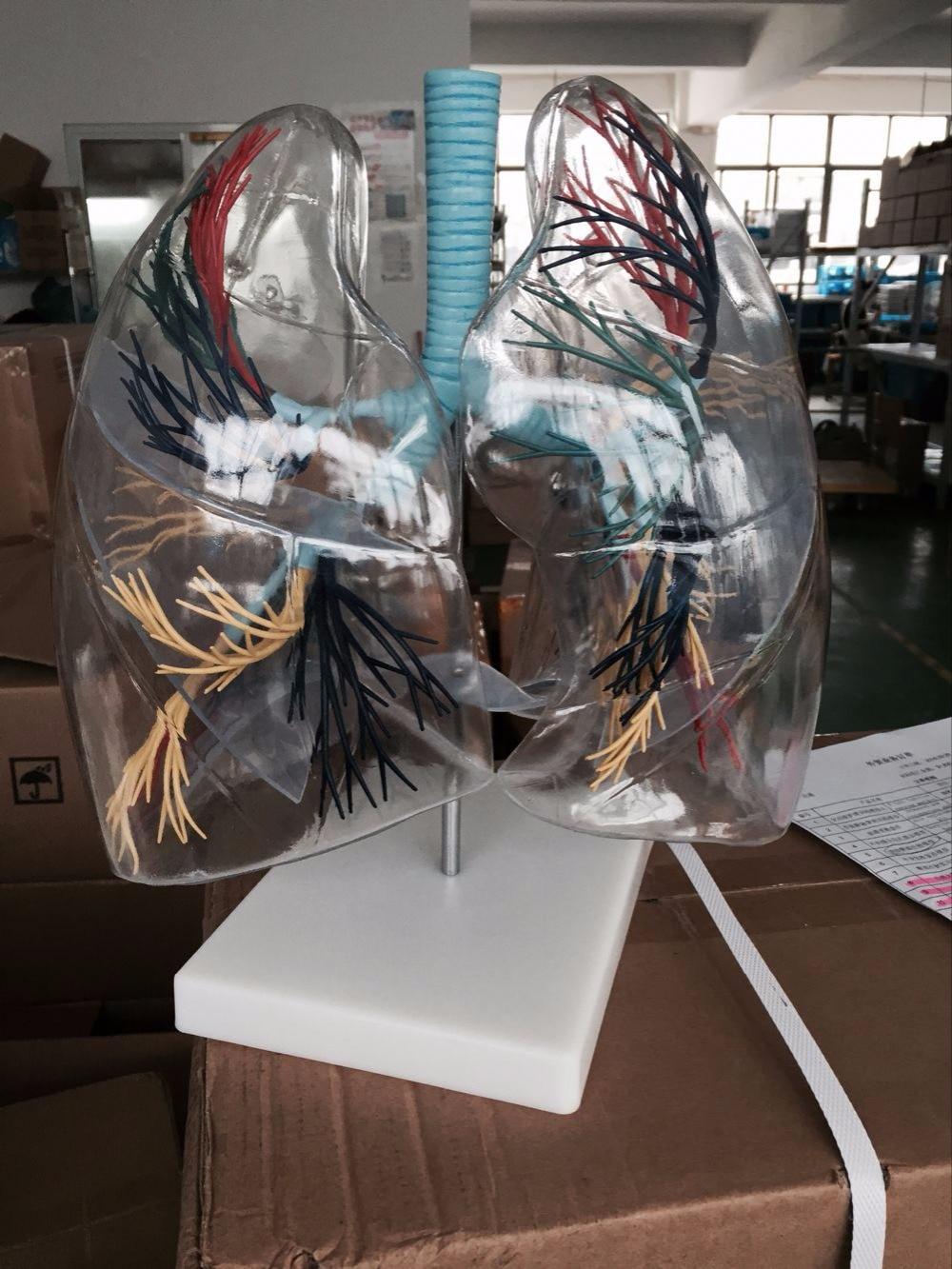 BIX-A1058 Transparent Lung Segment Anatomical Model WBW246