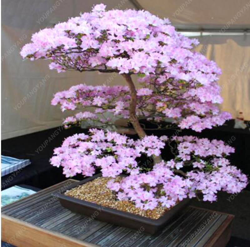 10pcs Anese Sakura Plants Rare Cherry Blossoms Flowers In Bonsai Diy Home Garden Mini From On
