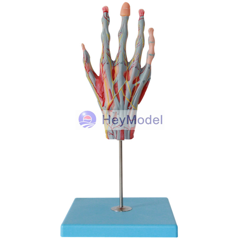 HeyModel Hand Muscle Attached to the main vascular nerve model joshua boucher regulation of vascular smooth muscle phenotype by notch signaling