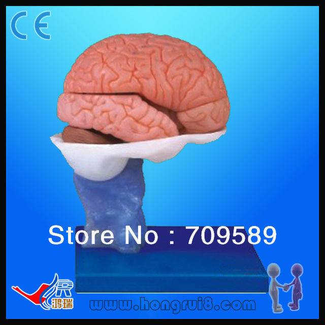 Advanced Deluxe PVC Brain Model,Highly Detailed Anatomy Brain Model ...