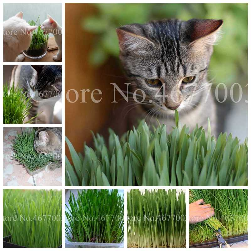 500 Pcs Harvested Cat Grass Bonsai Home Garden Lovely Foliage Plant Flower Indoor Pot New Wheat Decorative Landscaping Easy Grow