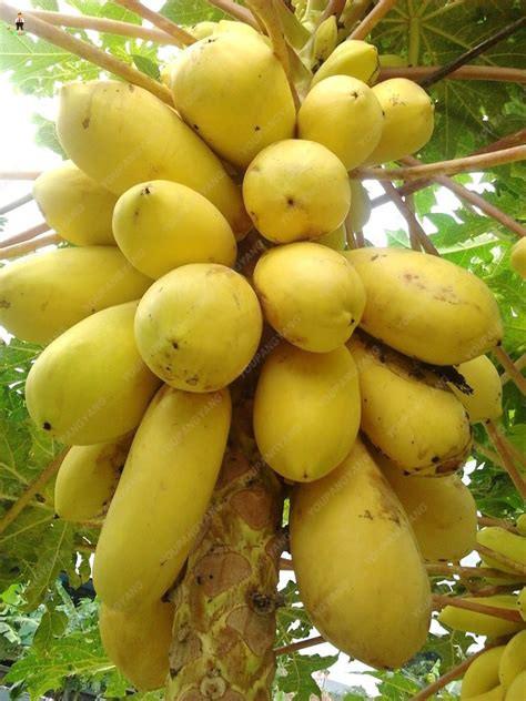 30pcs Sweet Maradol Papaya bonsai Outdoor Edible Tropical Juicy Jardin Fruit Heirloom Organic Garden Dwarf Fruit Tree
