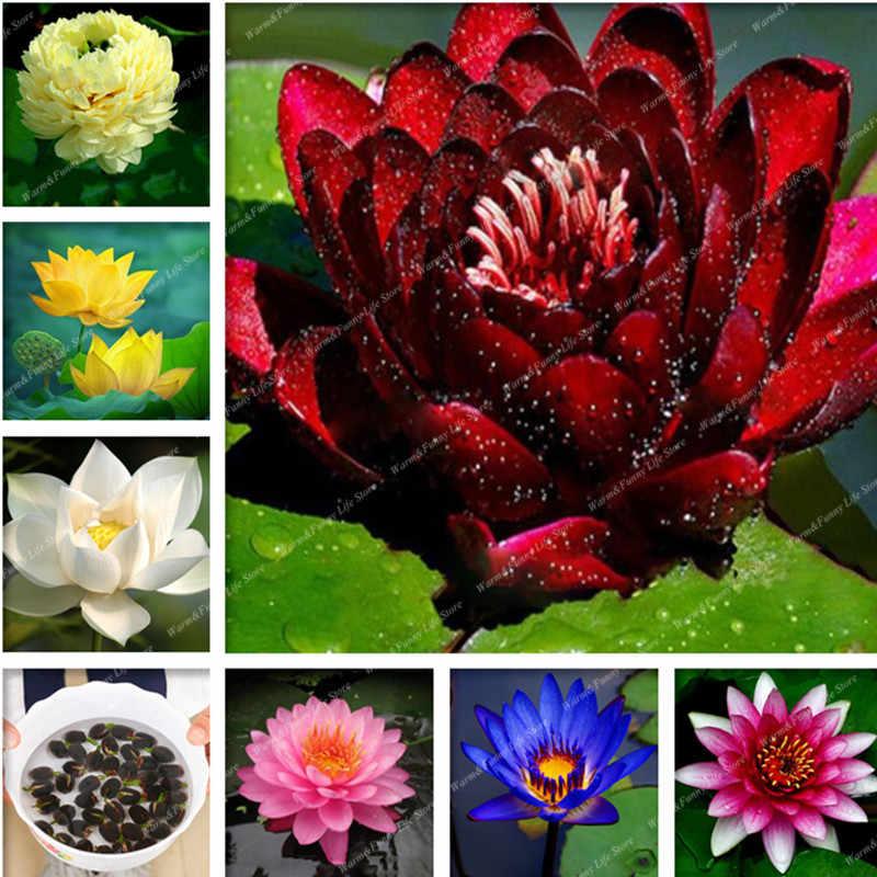 5 pz/borsa di Loto Fiore di Loto Bonsai Piante Acquatiche di Loto Ciotola Giglio di Acqua Bonsai Perenne Nymphaea Pianta Per Il Giardino di Casa