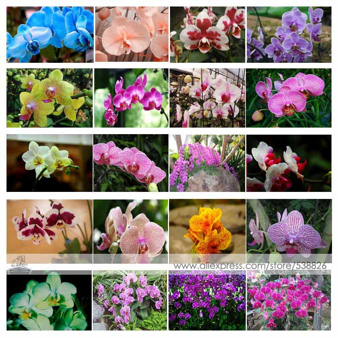 24 Types Perennial Phalaenopsis Orchid Flower Seeds, 1 Professional Pack, 100 Seeds / Pack, Rare Butterfly Orchid Seeds #NF564