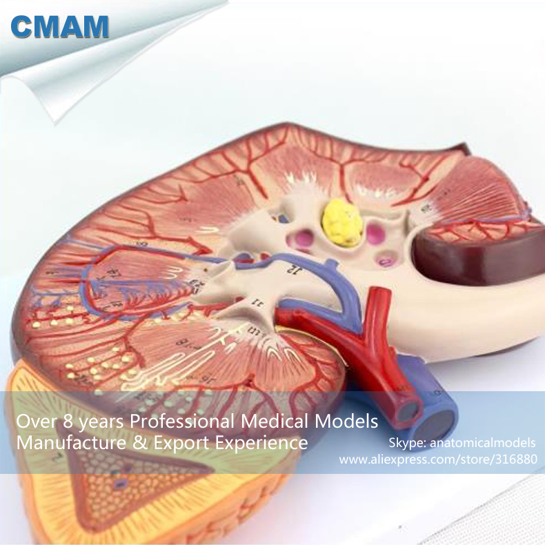 12431 CMAM KIDNEY02 Oversize Human Kidney Anatomy Model with Stand ...