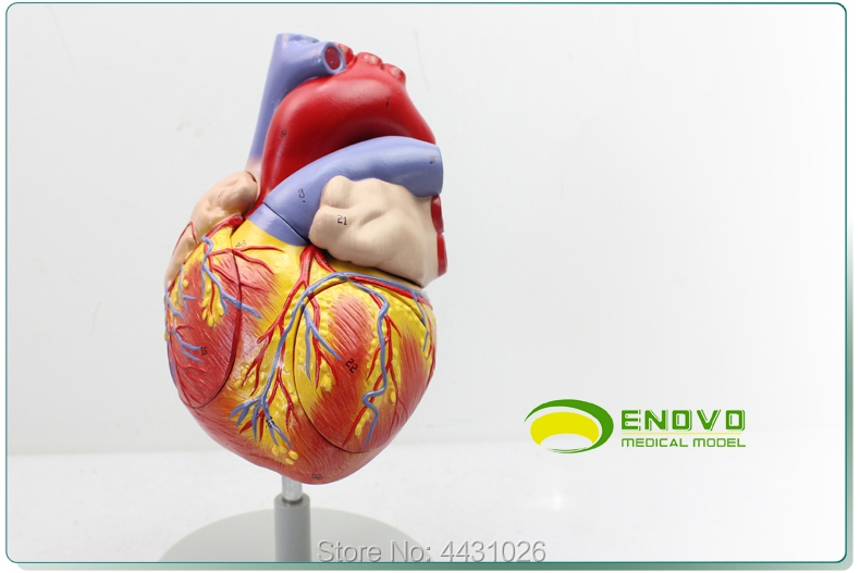 ENOVO Enlarged version of the human heart anatomy model heart model medical cardiology teaching AIDS quilted heart omnibus the