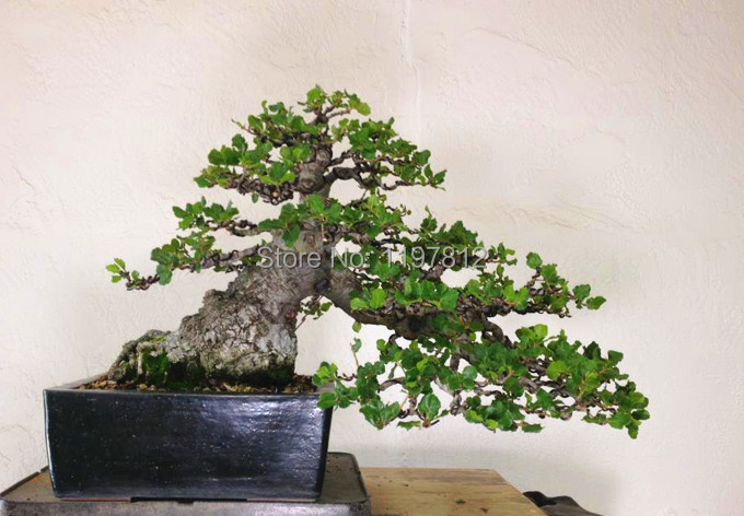 on sale!!!Heirloom 5pcs Seeds Oak Tree Seeds Bonsai Seeds Quercus ...