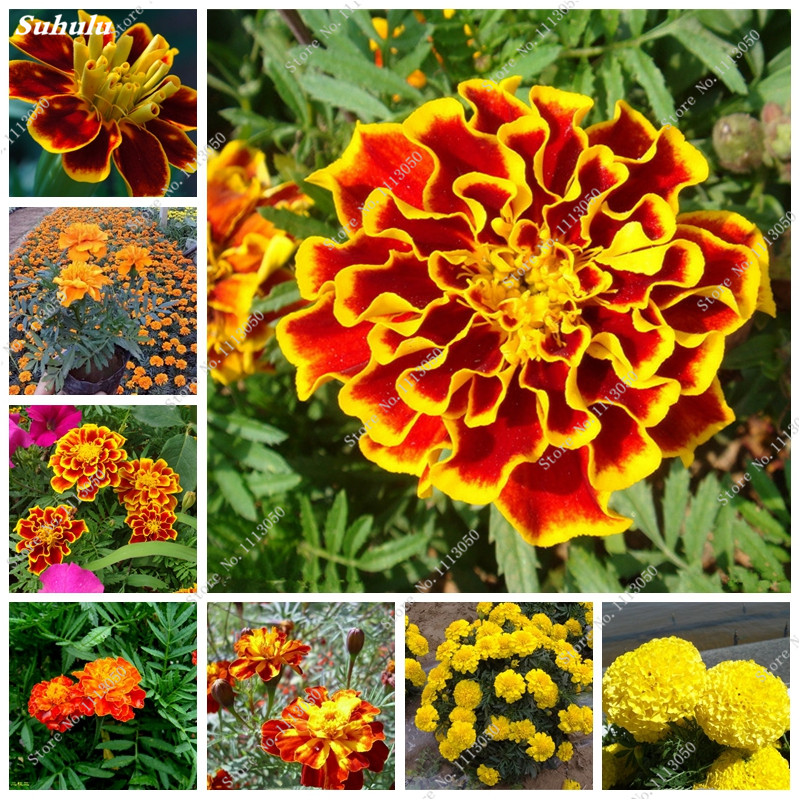 50 Pcs Rare Peacock Grass Seed Indoor Bonsai Chrysanthemums Marigold Tagetes Flower Potted Plant Diy Home Garden
