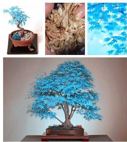 20 pcs china Bonsai tree seeds. rare sky blue maple seed. Balcony plants * Best Little Garden home seeds easy grow watch