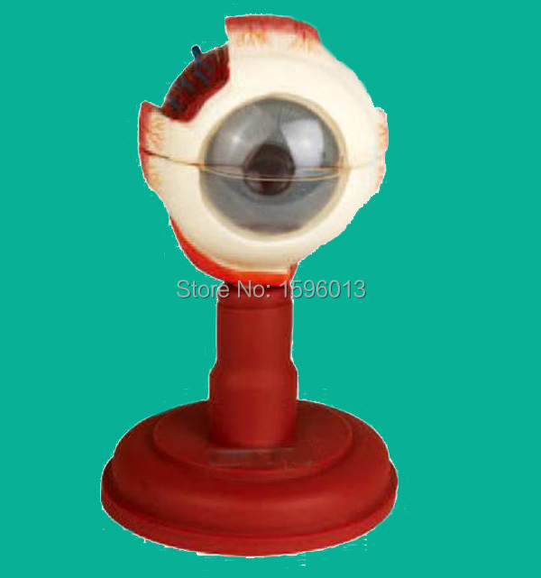 Advanced Eyeball Anatomical Model, Human Eye Enlarged Model vivid anatomical skin block model enlarged skin section model human skin model