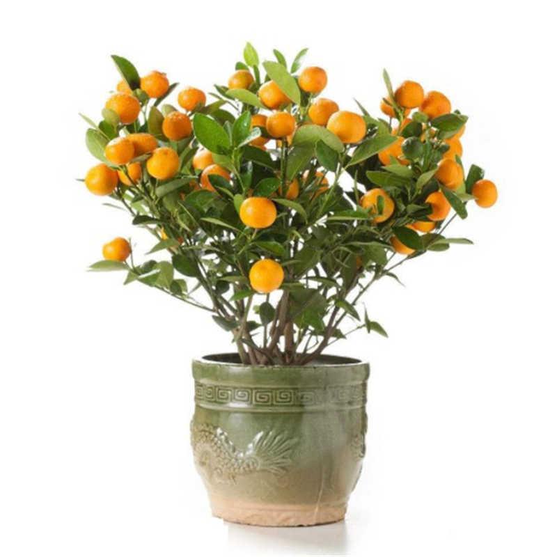 2019 vendita calda! 10 pcs Citrus pianta Bonsai Mandarin Orange bonsai di Frutta Commestibile Bonsai Albero pianta Cibo Sano Giardino di Casa Facile da Coltivare