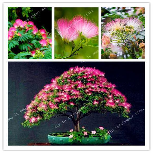 diy Home Miniature Garden Plant 20 Pcs albizia Julibrissin Bonsai Flower Tree Plants Albizia Tree Potted Bonsai Flower