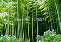 Enorme 100 semillas semillas hardy-Gigante Gigante Phyllostachys pubescens moso bambú