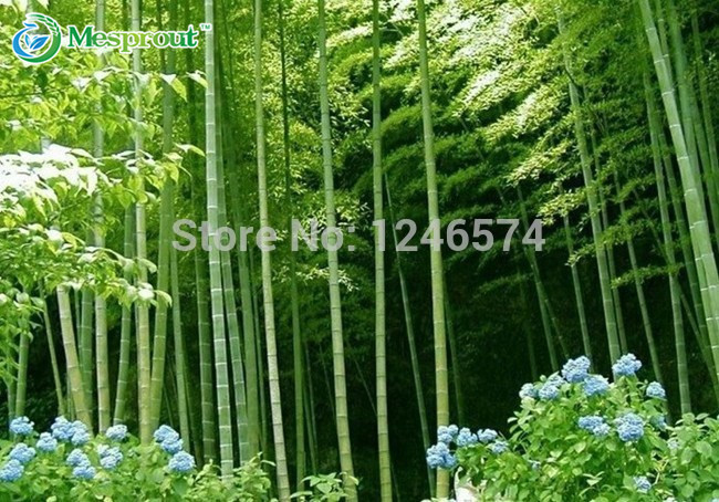 Huge 100 seeds Giant Phyllostachys pubescens moso bamboo seeds hardy -Giant