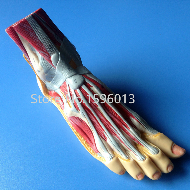 Foot Anatomy Model Plantar Dissection Model Anatomical Foot Model