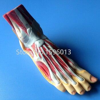 Modelo de la anatomía del pie, plantar disección modelo, modelo ...