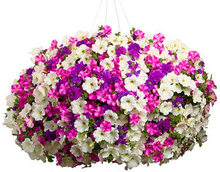 100 pcs/bag hanging petunia seeds melissa original flower seeds perennial flowers for home garden bonsai pot planting petunia