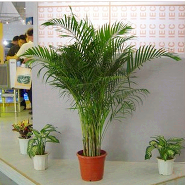 Air purifying phoenix bamboo seed lounges indoor plants for Plante bambou interieur