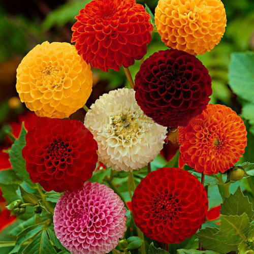 Hot Sale Multi-Colored Dahlia Seeds Beautiful Fireball Dahlia Pinnata Seeds DIY Home Garden Bonsai Plant 100PCS