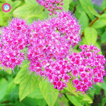 Low price!100 pcs/bag rare white Spiraea seeds Climbing Flower meadow sweets plant bonsai tree seeds potted for home garden