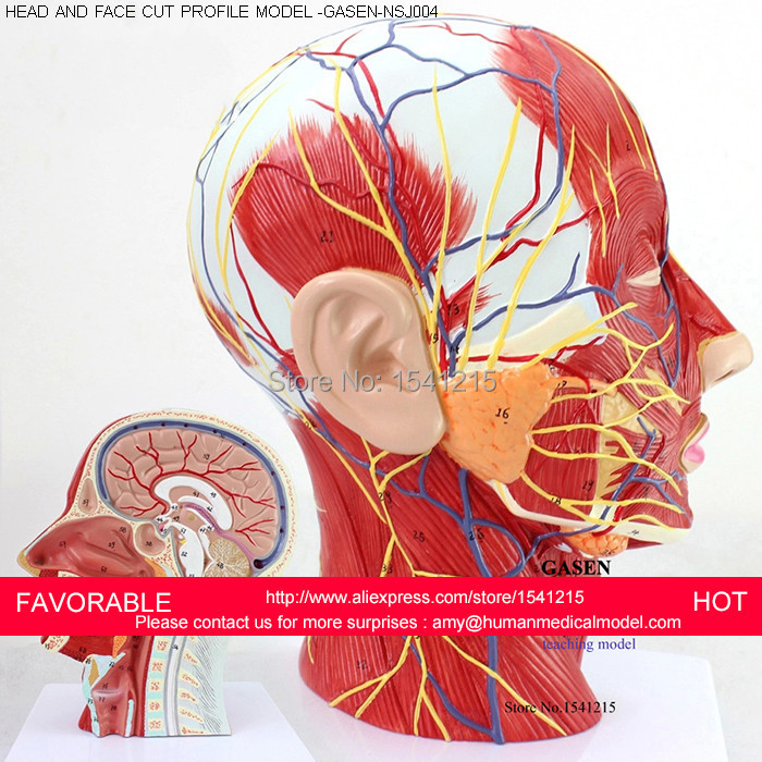 HEAD AND NECK WITH VESSELS,NERVES AND BRAIN(MEDICAL MODEL,ANATOMICAL ...