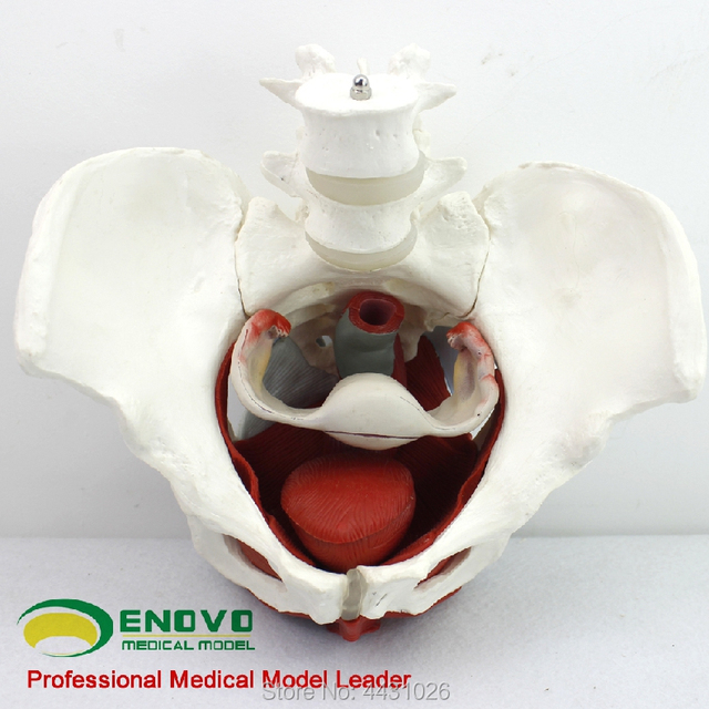 US $96 0 |ENOVO Female pelvic genital model medicine pelvic accessory  structure bladder vagina model-in Medical Science from Office & School  Supplies