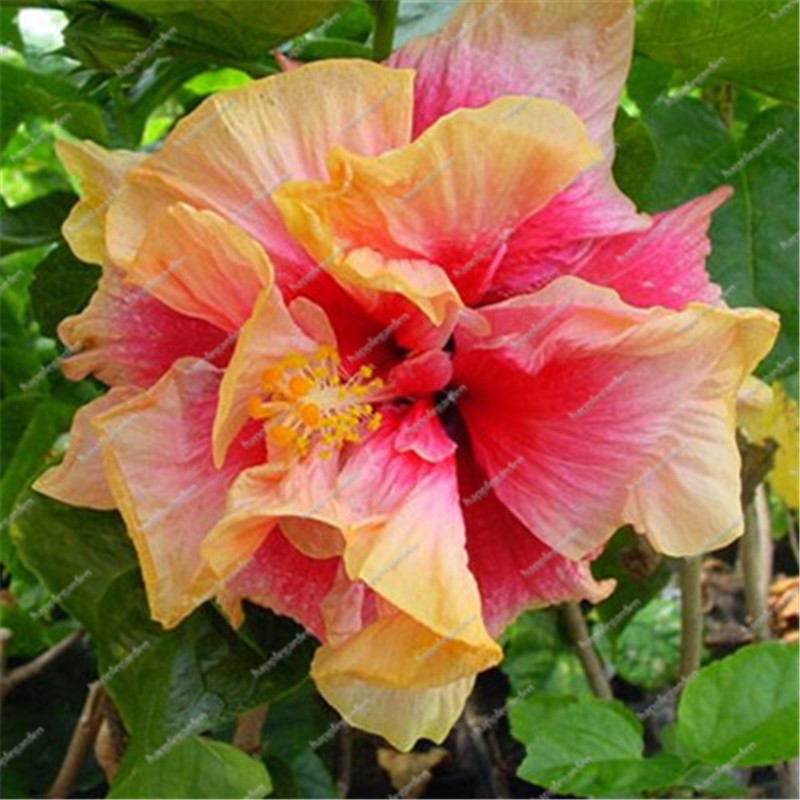 Hot Sale 100 Pcsbag Multifarious Giant Hibiscus Flower Bonsai