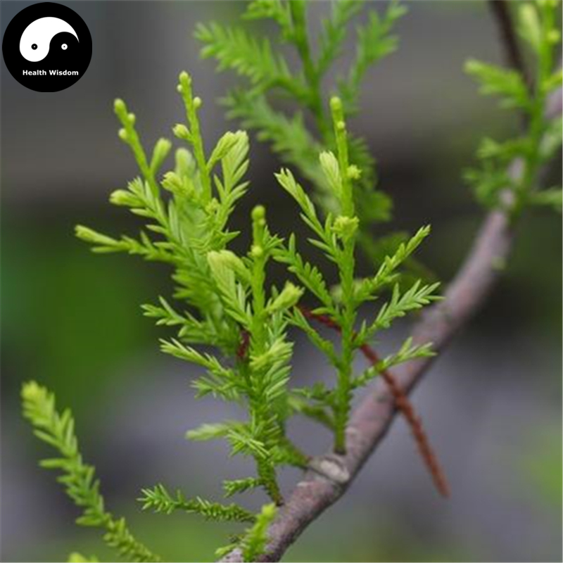Buy Podocarpus Imbricatus Tree Semente 30pcs Plant Podocarpus Imbricatus For Ji Mao Song