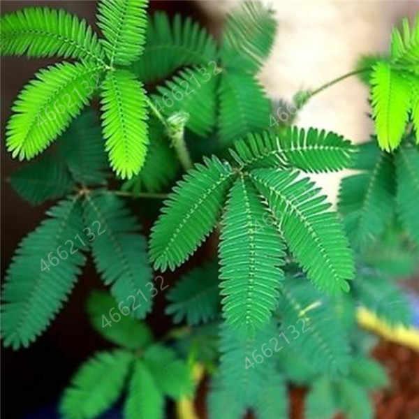 20 قطعة الميموزا بونساي النباتات Perennail داخلي المزهرة بوعاء مصنع نادر ميموزا Pudica زهرة للمنزل حديقة خجولة العشب النباتات