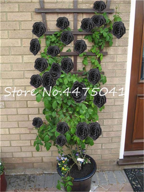 black rose1