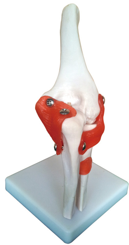 aliexpress : buy human life size elbow joint anatomical model, Skeleton