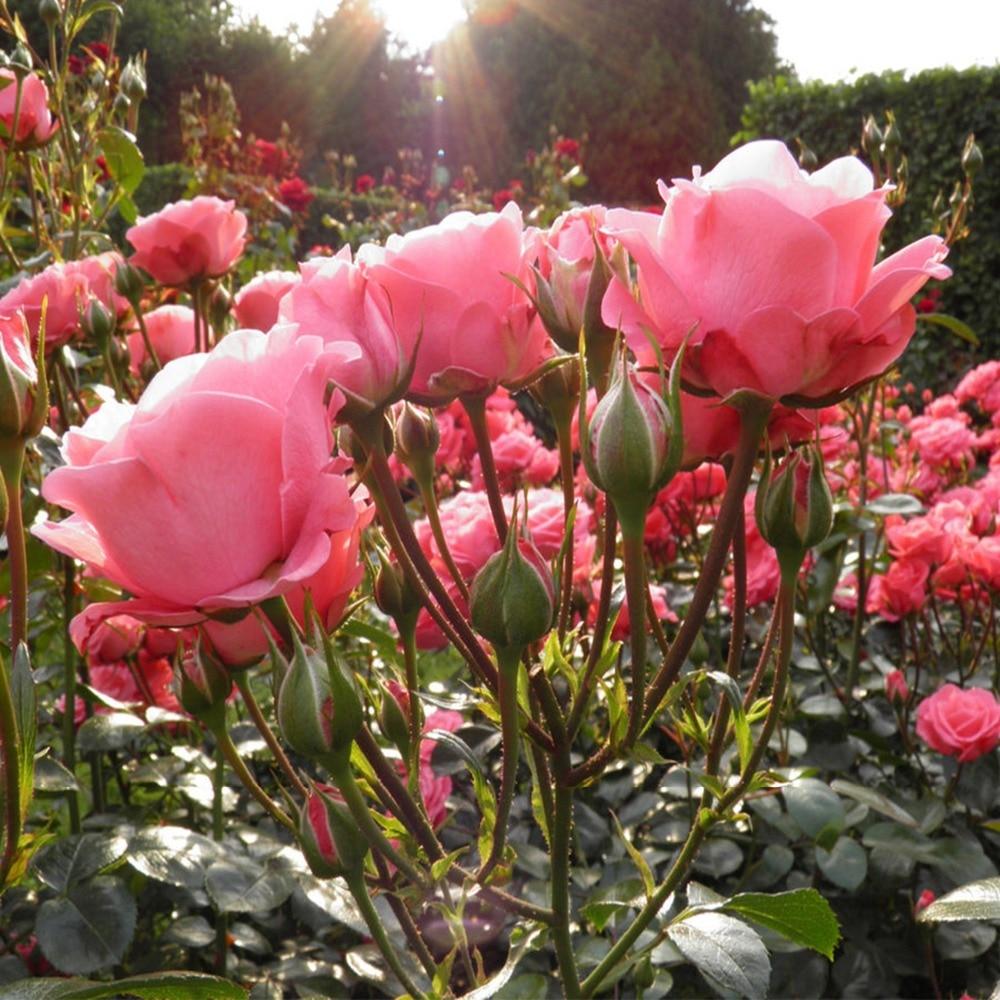 Aliexpress Buy 50 Rose Seeds Climbing Plants Polyantha