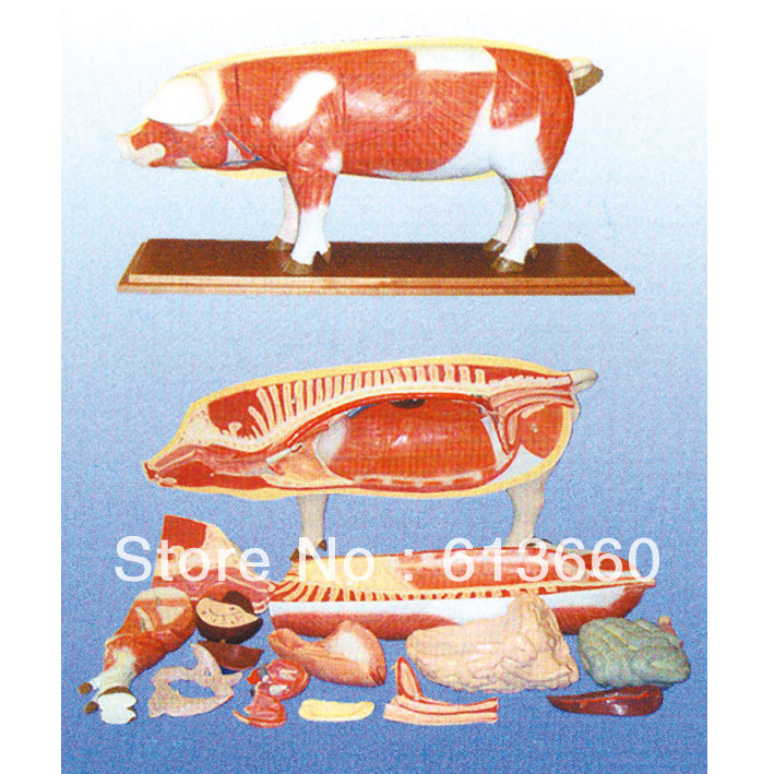 Pig Kidney Anatomical Model For Teaching On Aliexpress Alibaba