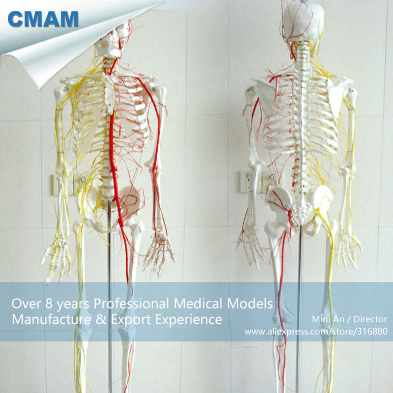 12362 CMAM-SKELETON02 Human Full Size 170/180cm Neurovascular Skeleton Anatomical Models plastic standing human skeleton life size for horror hunted house halloween decoration