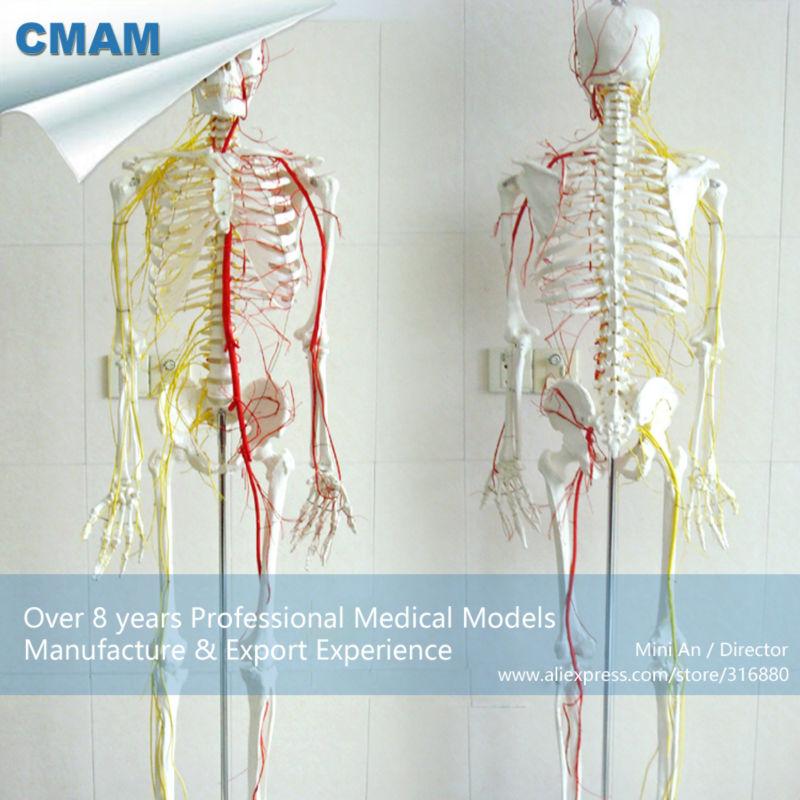 CMAM SKELETON02 Human Full Size 170 180cm Neurovascular Skeleton Anatomical Models