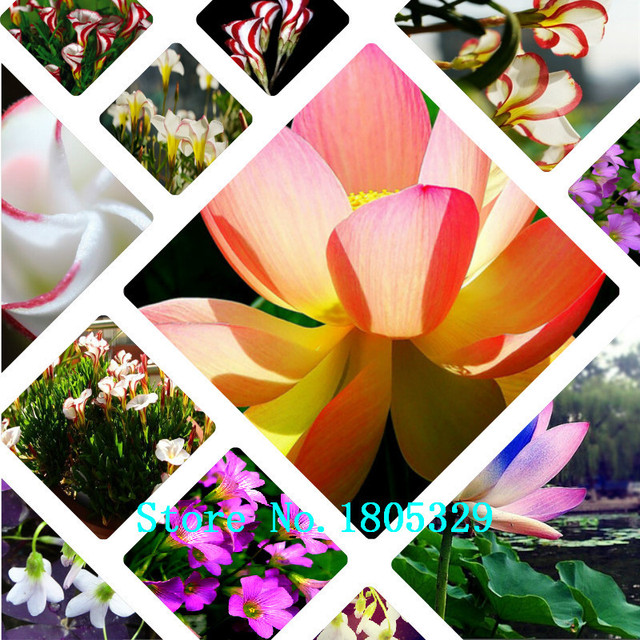 Ggg Hot Sale Oxalis Seeds Versicolor Flowers Seeds Worlds Unique