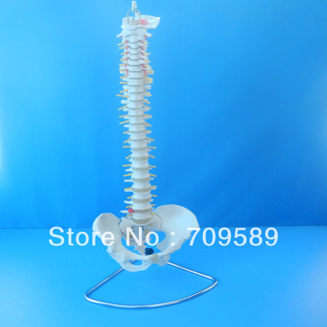 Deluxe Life-Size Human Spine Vertebral Column with Pelvis plastic standing human skeleton life size for horror hunted house halloween decoration