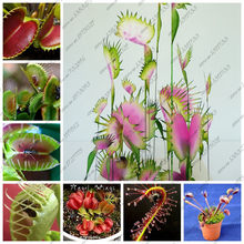 Free shipping 100pcs Dionaea Muscipula Giant Clip Venus Fly trap plants Insectivorous bonsai Garden Plant Family garden(China)