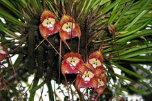 9 kinds Rare Precious Monkey Face Orchid Seeds, 50pcs/pack