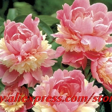 15pcs/lot Rare Heirloom Sorbet Robust Colorful Double Blooms Peony Tree Seeds bonsai plant home garden free shipping