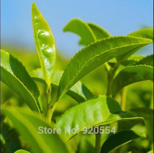 20pcs/pack Chinese Green Tea Tree  for healthy life home garden free shipping