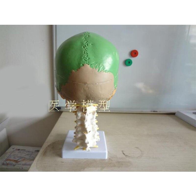 US $39 83 32% OFF|human anatomy skeleton anatomical model for sale skull  with colored bones cervical vertebra Beige Sculpture Medical supplies-in