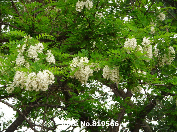 Real Indoor Trees Part - 41: Real Chinese Pagoda Tree Seeds Indoor Peach Bonsai Sophora Japonica Outdoor  Garden Plants Countryard Guohuai Sementes-in Bonsai From Home U0026 Garden On  ...