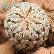 Fairy Succulents Seeds 50pcs/set Prevent Radiation fleshy seeds,Imported cactus hybrid bonsai seeds Succulent plant